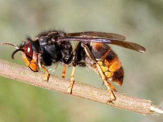 Imkers maken zich zorgen omdat het roofdiertje onder meer honingbijen eet