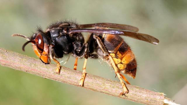 Aziatische hoornaar in opkomst in Europa