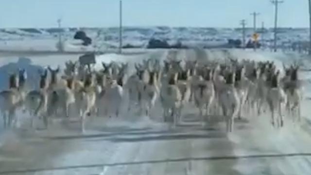 Man rijdt achter kudde rennende antilopen in South Dakota