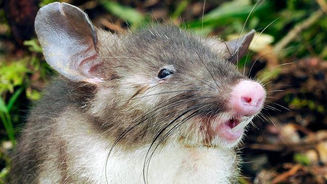 Zwijnneusrat ontdekt in Indonesië