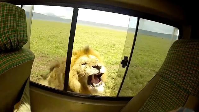 Leeuw brult naar aaiende safaritoerist op Serengeti