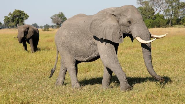 In maand tijd nog eens driehonderd dode olifanten aangetroffen in Botswana