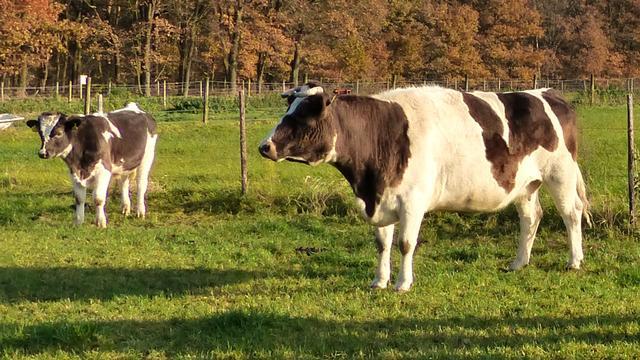 Kabinet onderzoekt uitzondering mestregels voor zeldzame runderrassen