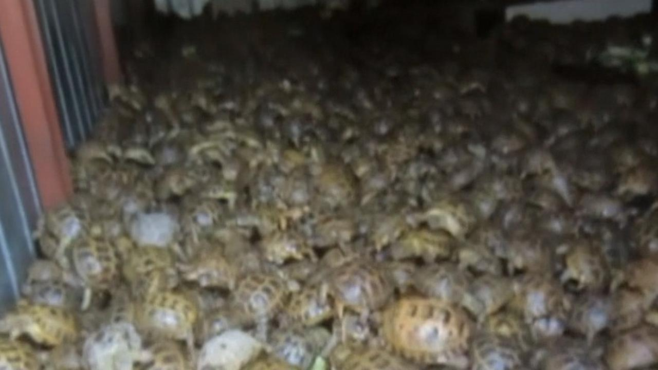 Russische douane onderschept 4.100 zeldzame schildpadden