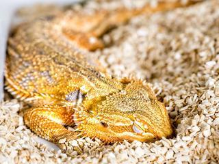 Temperatuur heeft invloed op ontwikkeling reptielenbrein