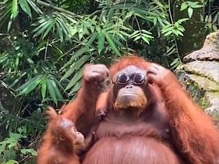 Orang-oetan zet in verblijf gevallen zonnebril van toerist op
