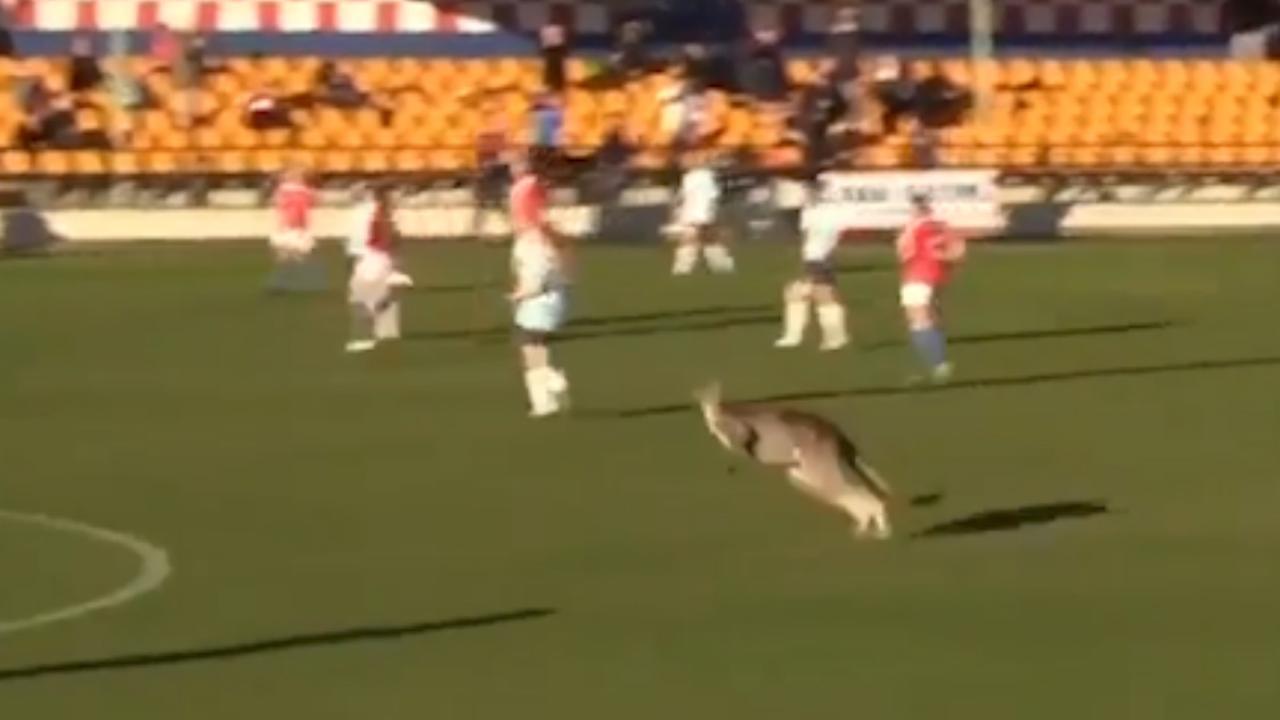Kangoeroe verstoort voetbalwedstrijd in Australië