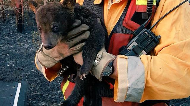 Brandweer redt jonge beer uit brandend bos