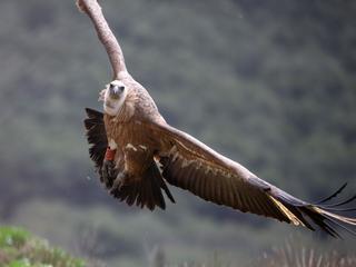 Aantal gieren op eiland moet weer op niveau gebracht worden