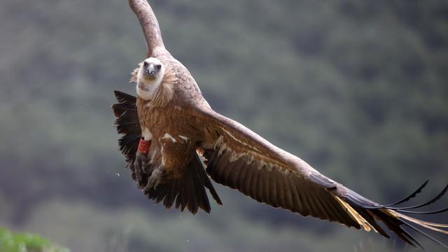 Artis laat vale gieren uitvliegen op Sardinië