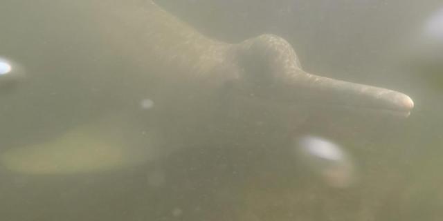 Rivierdolfijnen in Brazilië kunnen breed repertoire aan geluiden maken