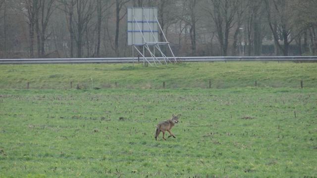 Voor het eerst in lange tijd wolf gespot in Noord-Limburgs Heijen