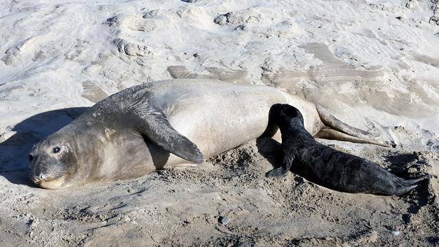 'Supermoeders' binnen zeeolifantenpopulatie baren meeste pups