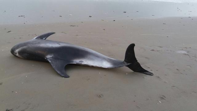 Witsnuitdolfijn aangespoeld op strand Wijk aan Zee