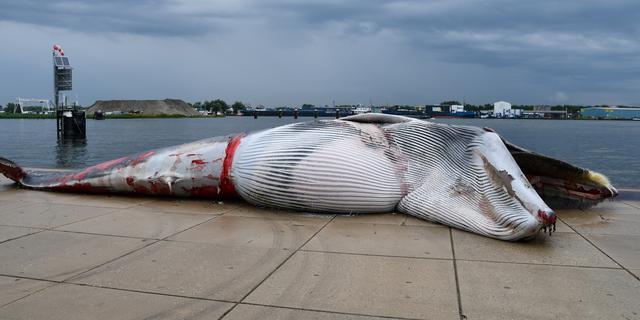 Dode walvis in haven Terneuzen kwam door aanvaring met schip om het leven