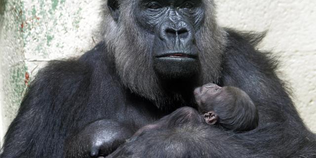 42-jarige oude gorilla van Apenheul overleden