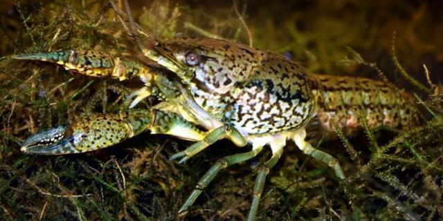 'Gekloonde rivierkreeften zijn uitgegroeid tot nieuwe soort'