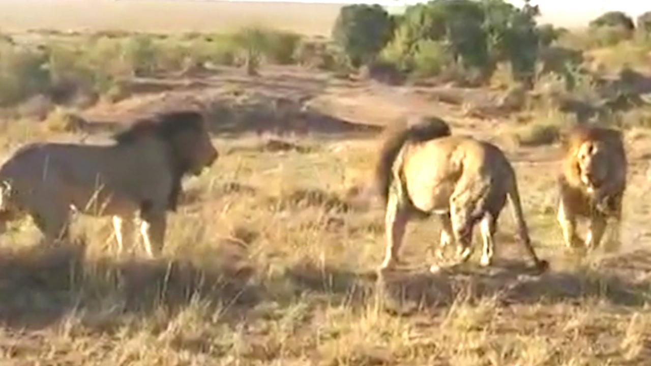 Drie leeuwen vechten vlak naast ranger om territorium in Kenia