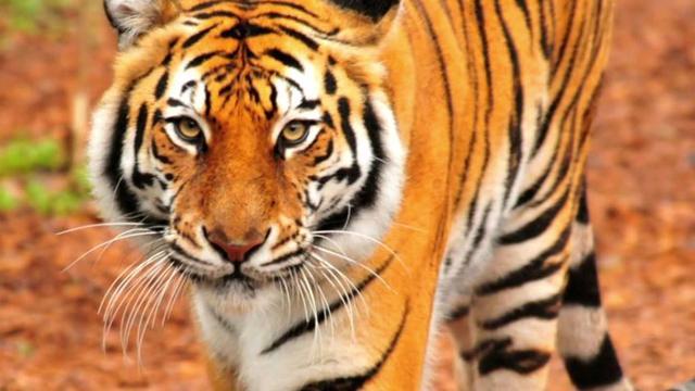 Tijger doodt verzorgster in dierentuin Benidorm