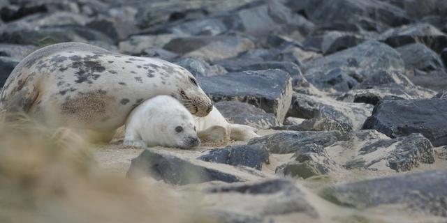 Groei van aantal grijze zeehonden in Waddenzee zet stevig door