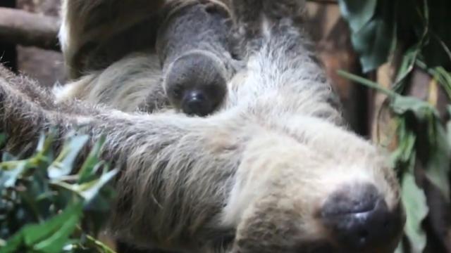 Babyluiaard rust op buik moeder na geboorte in Dierenpark Amersfoort