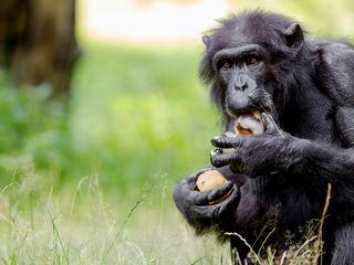 Apen hebben meer snelle spiervezels