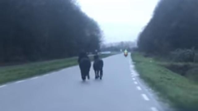 Politie haalt twee pony's van de weg bij Goes na gevaarlijke situaties