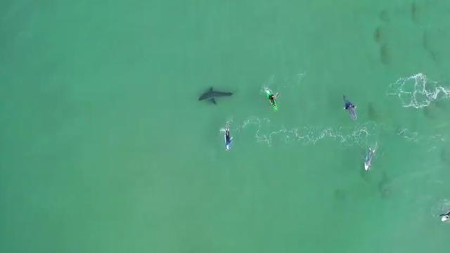 Eng: gevaarlijke haaien zwemmen tussen surfers Zuid-Afrika