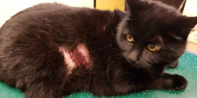 Eigenaar looft beloning uit voor tip over verminking kat met vuurwerk