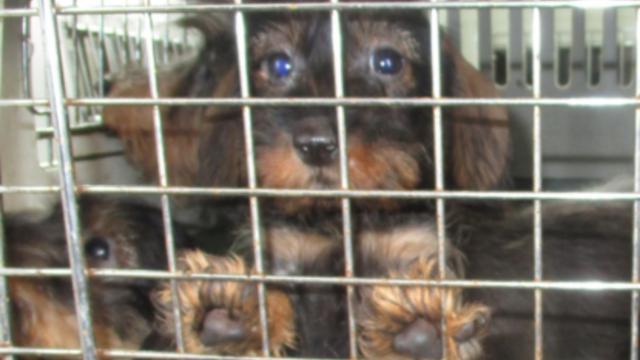 NVWA neemt 150 honden in beslag bij hondenhandelaar Woerden