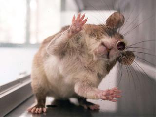 Specifieke hersencellen in muizenbrein gestimuleerd met laser