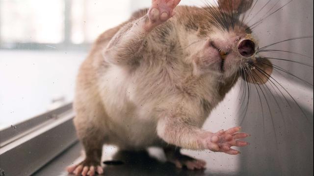 Ratten winnen terrein in stad