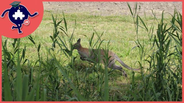 Wilde kangoeroe gespot in Limburg