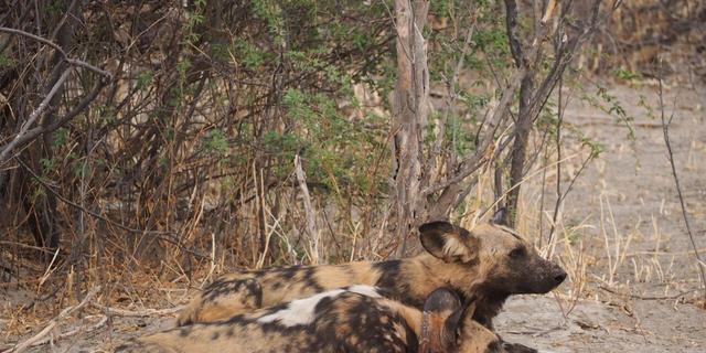 Hyenahonden maken niezende geluiden als ze willen jagen