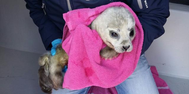 Jongste zeehond die werd gered door Pieterburen overleden