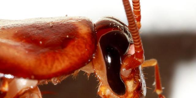 'Kakkerlakken communiceren via bacteriën in hun poep'