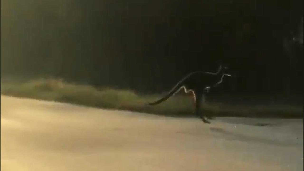 Ontsnapte kangoeroe springt door straten Florida