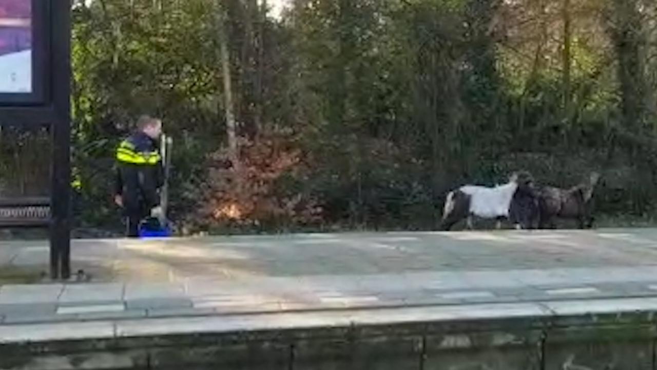 Agenten proberen loslopende pony's te vangen