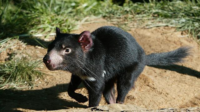 Australische onderzoekers vinden gezonde Tasmaanse duivels