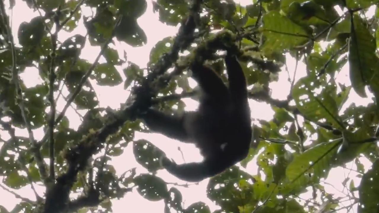 Expeditieteam Apenheul maakt unieke beelden van geelstaartwolaap