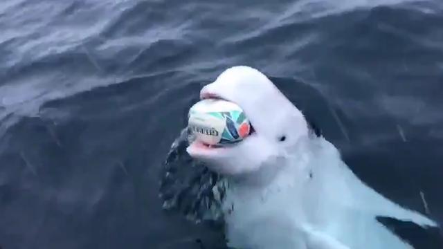 Witte dolfijn brengt bal terug