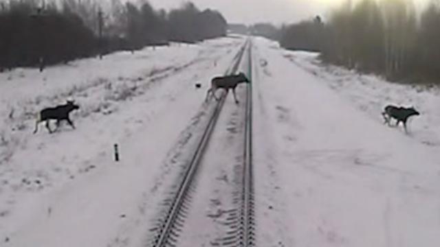 Elanden steken spoor over vlak voor rijdende trein in Rusland
