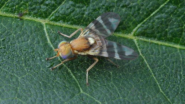 Exotische walnootboorvlieg voor het eerst gezien in Nederland