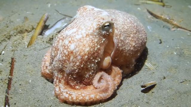 Duikers maken unieke beelden van octopus voor Nederlandse kust