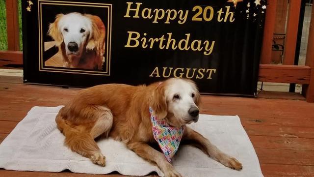 August (20) is de oudste golden retriever ter wereld