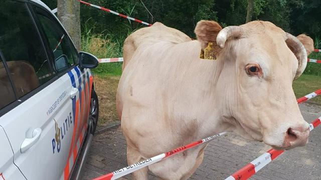 Ontsnapte koe na korte achtervolging in Haagse Beemden ingesloten