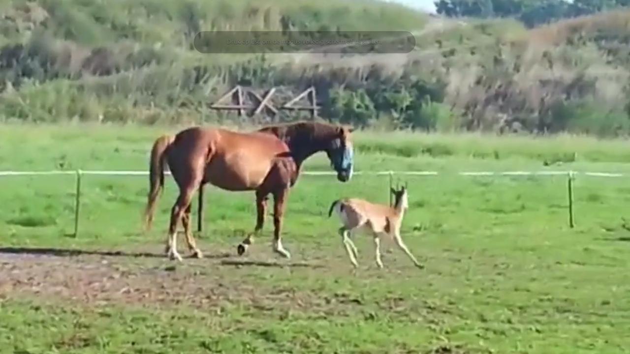 Hertje leeft in een paardenkudde