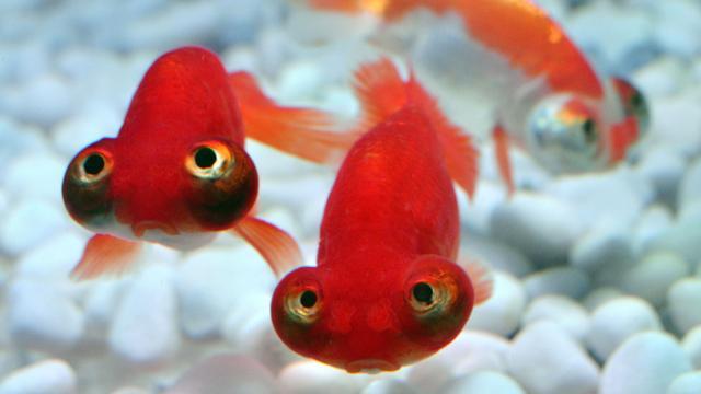 'Kijken naar vissen kan bloeddruk verlagen'