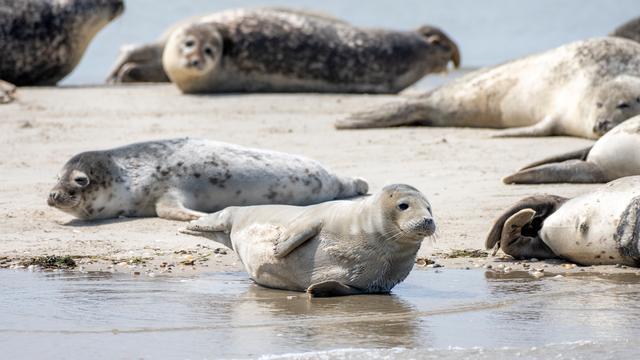 Haas voor het eerst op lijst bedreigde zoogdieren, otter niet meer 'verdwenen'
