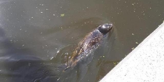 Zeehond in Amsterdamse Amstel is zeldzame ringelrob